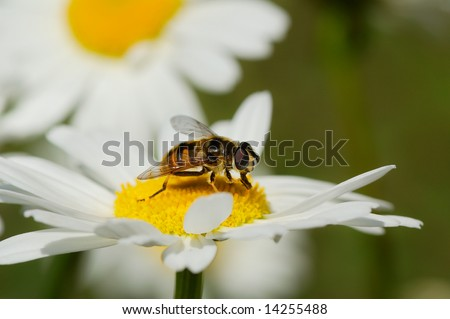 working bee  closeup on white daisy - stock photo