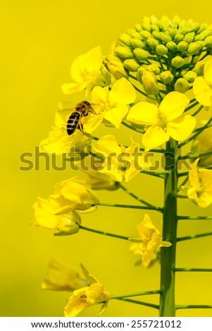 working bee on the rape flower - stock photo