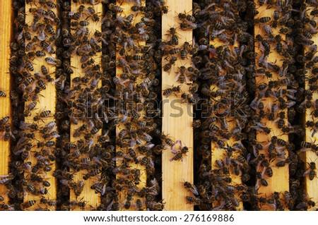 Working bees in honeycombs. Beekeeping - stock photo