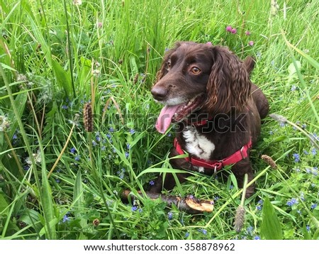 Working Cocker Spaniel Laying in Grass