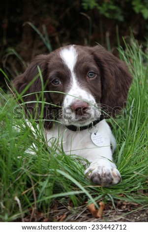 Working English Springer Spaniel - stock photo