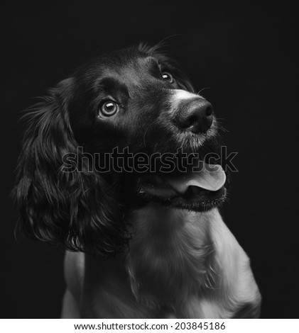 Working english springer spaniel puppy, six month old, studio shot black and white image