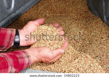 Working farmers hands hold harvested lentils in the hopper of a grain silo. - stock photo