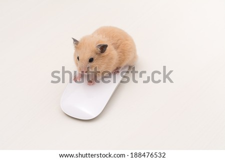 Working Golden Hamster