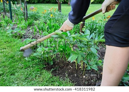 Working in the garden. Hand hoeing of the seedlings strawberries and flowers