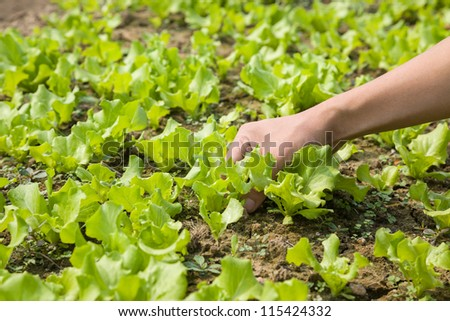 working in the young lettuce field - stock photo
