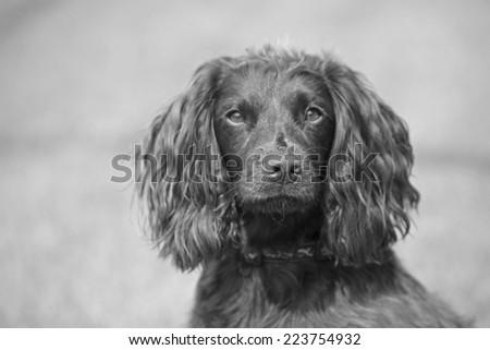 working spaniel puppy dog cute domestic pet - stock photo