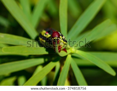 Worm Hyles euphorbiae eating green leaves of euphorbia - stock photo