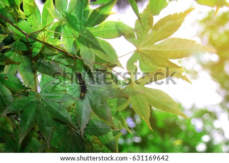 Worm on Japanese maple leaves with morning light  at Ryoanji temple,Kyoto,Japan