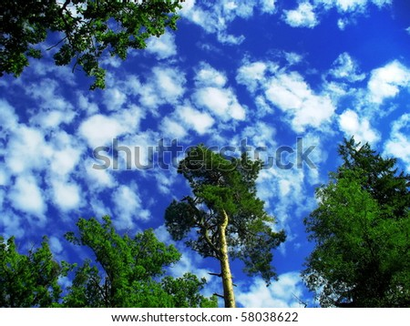 Worm´s eye view - gorgeous sky and tall trees in the middle of the forest - stock photo