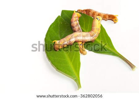 Worms on the leaves white background