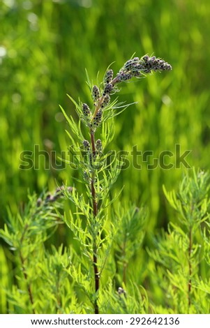 Wormwood ordinary (Artemisia vulgaris). Blossoming of a plant close up - stock photo