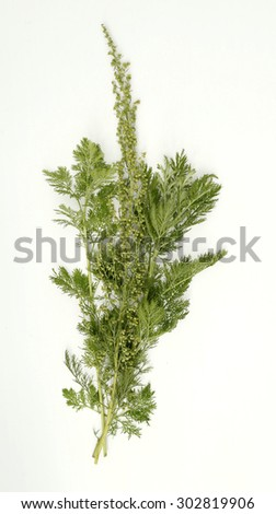 wormwood particulate branches with buds