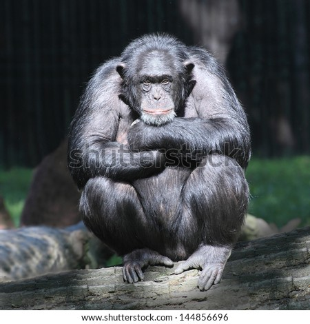 Worried Chimpanzee. - stock photo