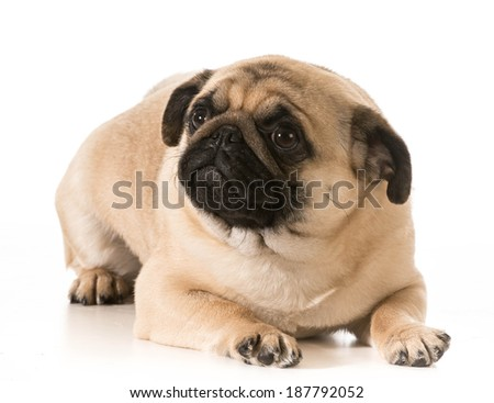 worried dog - pug laying down looking up isolated on white background