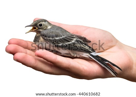 wounded bird tree pipit in the hands, isolated on white background. Anthus trivialis. swallow