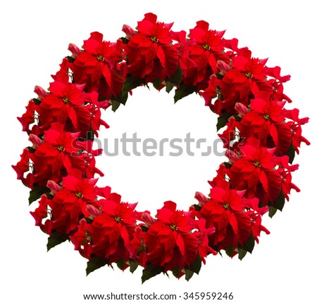 wreath of scarlet poinsettia flower or christmas star  on a white background  - stock photo