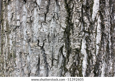 wrinkled bark of a old poplar tree, wood texture background - stock photo