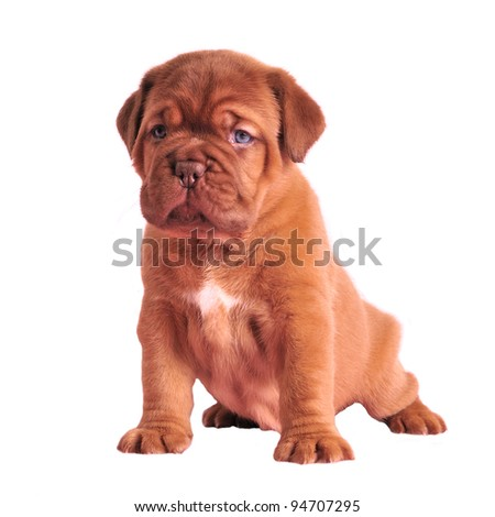 Wrinkled puppy sitting isolated