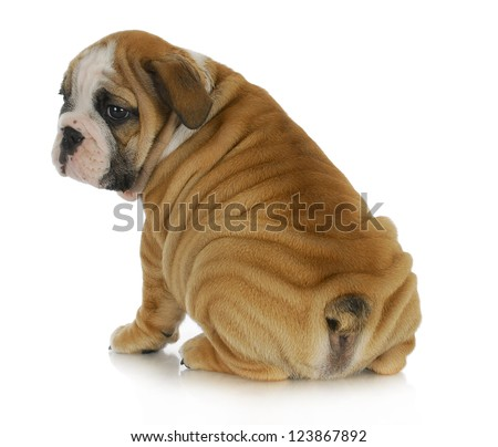 wrinkly puppy - english bulldog puppy with lots of wrinkles sitting with bum to viewer on white background - stock photo