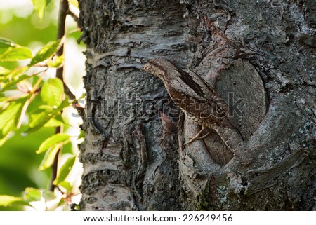 wryneck - stock photo