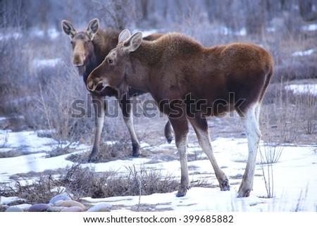 Wyoming moose - stock photo
