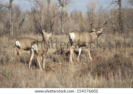 Wyoming wildlife meanders along grazing for food - stock photo