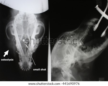 X-ray image of osteolysis and small shot (scull of dog) - stock photo