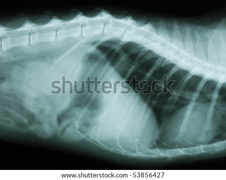 X-ray of the thorax and abdomen of a cat - stock photo
