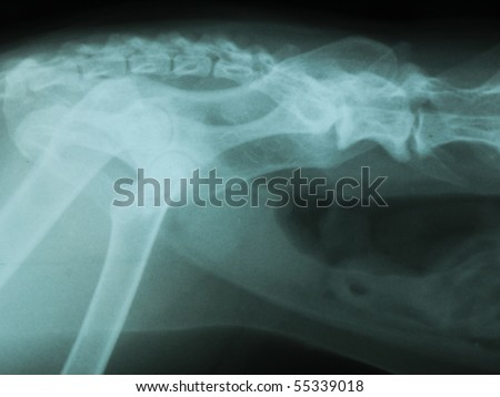 X-ray pelvis and intestines of a cat - stock photo