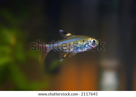 X-ray Tetra Fish (Pristella Tetra) - stock photo