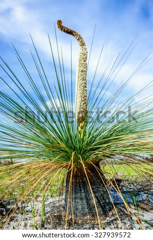 Xanthorrhoea showing flower spike and burnt trunk. A genus of about 30 species of flowering plants endemic to Australia. Also known as blackboy, grasstree and kangaroo tail. Tasmania, Australia - stock photo