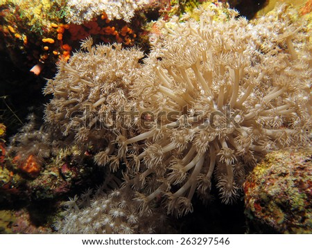 Xenid soft coral looking like flowers - stock photo