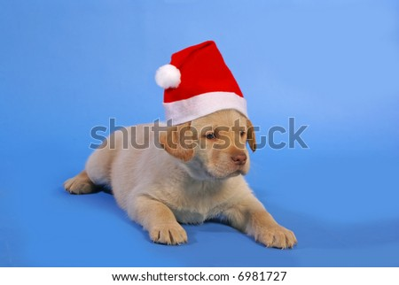 xmas puppy on blue background - stock photo