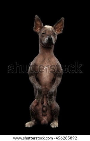 Xoloitzcuintle - hairless mexican dog breed Sitting on hind legs, Waiting Looks, on Isolated Black background - stock photo