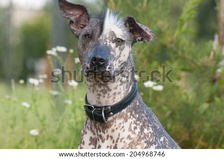 Xoloitzcuintle - hairless mexican dog  look forward to the camera - stock photo