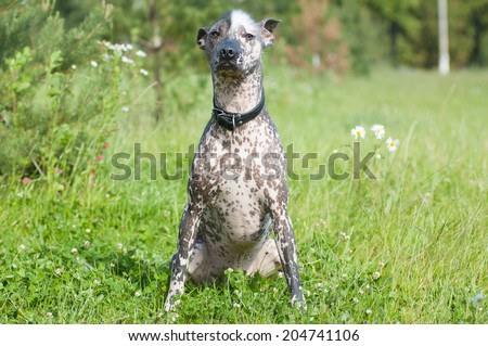 Xoloitzcuintle - hairless mexican dog on sunny summer day - stock photo