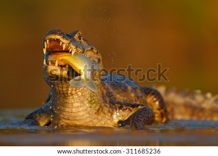 Yacare Caiman, crocodile with fish with evening sun in the river, Pantanal, Brazil - stock photo