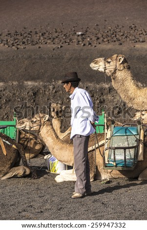 YAIZA, SPAIN - NOV 15, 2014: local camel riding man prepares the camels for a ride with tourists in Yaiza, Spain. Camel riding in Timanfaya is a must for tourists. - stock photo