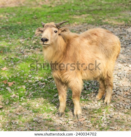 yak - stock photo