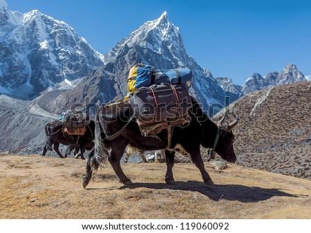 Yak caravan near Dusa - Everest region, Nepal, Himalayas - stock photo