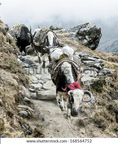 Yak caravan on the trek - Everest region, Nepal, Himalayas - stock photo