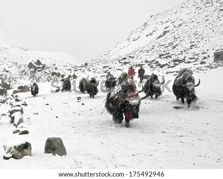 Yak caravan on the trek to Mount Everest - Nepal, Himalayas - stock photo