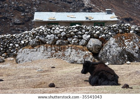 Yak farm, Everest region, Himalayas, Nepal - stock photo