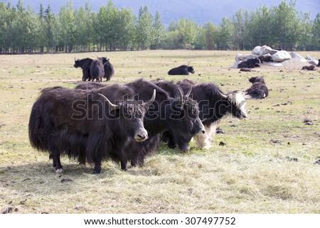 Yak farm in Alaska - stock photo