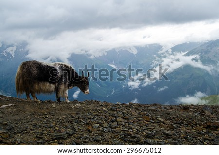 yak grazing on a background of mountains