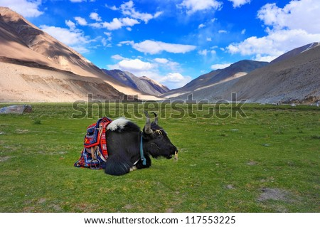Yak Grunting ox mountain Bos grunniens  India