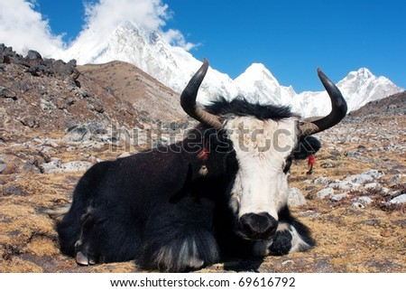 Yak in khumbu valley with pumo ri, lingtrem and khumbutse - Nepal - stock photo