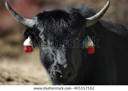 Yak in the Himalayas mountains. Nepal.