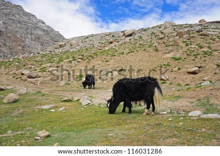 Yak in the valley of Ladakh, India - stock photo
